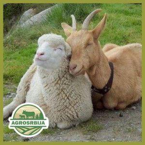 Ovce i koze
